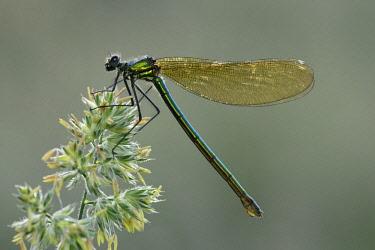 NIS00065057 Banded Demoiselle (Calopteryx splendens) resting, England, Lincolnshire, Bassingham