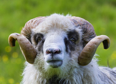 EU07MZW0516 Sheep on the Faroe Islands, Denmark
