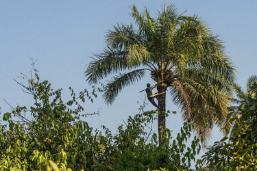 GUN0033AW Africa, Guinea Bissau. Bijagos Islands. Climbing a palm tree to collect palm wine