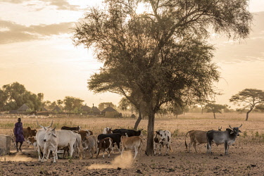 SEN1062AW Africa, Senegal. Sunrise in a Fulani village, cattle going out