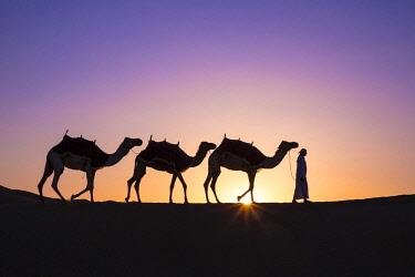 UE02425 Camels in the Empty Quarter (Rub Al Khali), Abu Dhabi, United Arab Emirates (MR)