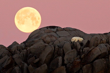 CLKMG14635 Polar bear resting on a cliff in an island in the high arctic. The full moon is rising just behind it