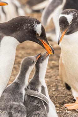 SA09BJY0282 Falkland Islands, Sea Lion Island. Gentoo penguin with chicks.
