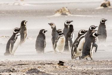 SA09BJY0285 Falkland Islands, Sea Lion Island. Magellanic penguins on beach in sandstorm.