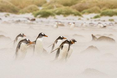 SA09BJY0286 Falkland Islands, Sea Lion Island. Gentoo penguins on beach in sandstorm.