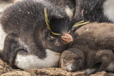 SA09BJY0291 Falkland Islands, Bleaker Island. Rockhopper penguin adult and chick.