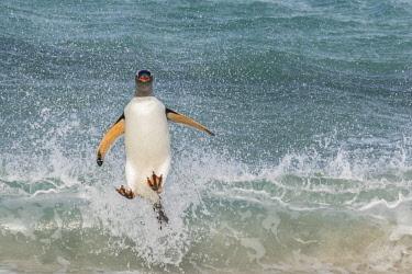 SA09BJY0295 Falkland Islands, Bleaker Island. Gentoo penguin jumps out of surf.