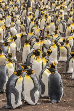 SA09BJY0301 Falkland Islands, East Falkland. King penguin colony.