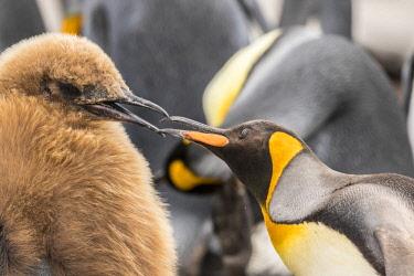 SA09BJY0302 Falkland Islands, East Falkland. King penguin adult feeding juvenile.