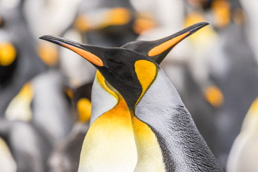 SA09BJY0303 Falkland Islands, East Falkland. King penguins in colony.