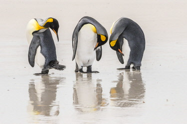 SA09BJY0304 Falkland Islands, East Falkland. King penguins on beach.