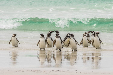 SA09BJY0305 Falkland Islands, East Falkland. Magellanic penguins on beach.