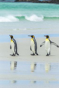 SA09BJY0311 Falkland Islands, East Falkland. King penguins walking on beach.
