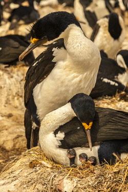 SA09BJY0312 Falkland Islands, Sea Lion Island. Imperial shag parents on nest with chicks.