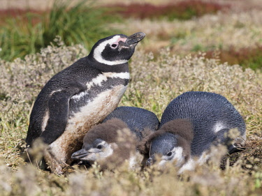 SA09MZW0557 Magellanic Penguin (Spheniscus magellanicus) at burrow with half grown chicks. Falkland Islands