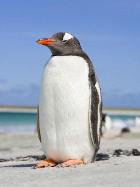 SA09MZW0697 Gentoo Penguin (Pygoscelis Papua) Falkland Islands.