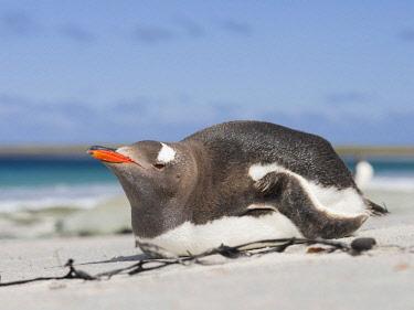 SA09MZW0699 Gentoo Penguin (Pygoscelis Papua) Falkland Islands.