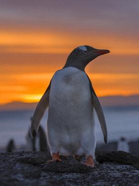 SA09MZW0702 Gentoo Penguin (Pygoscelis Papua) Falkland Islands.