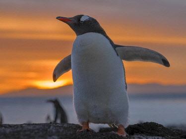 SA09MZW0703 Gentoo Penguin (Pygoscelis Papua) Falkland Islands.