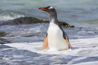 SA09MZW0726 Gentoo Penguin (Pygoscelis Papua) Falkland Islands.