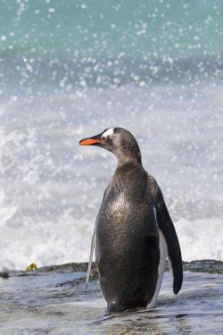 SA09MZW0728 Gentoo Penguin (Pygoscelis Papua) Falkland Islands.
