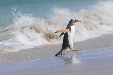 SA09MZW0729 Gentoo Penguin (Pygoscelis Papua) Falkland Islands.