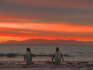 SA09MZW0741 Gentoo Penguin (Pygoscelis Papua) Falkland Islands.