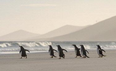 SA09MZW0749 Gentoo Penguin (Pygoscelis Papua) Falkland Islands.