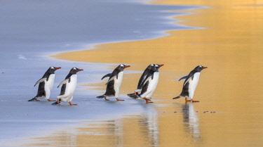 SA09MZW0751 Gentoo Penguin (Pygoscelis Papua) Falkland Islands.