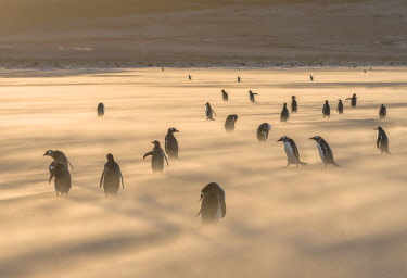 SA09MZW0755 Gentoo Penguin (Pygoscelis Papua) Falkland Islands.