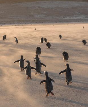 SA09MZW0756 Gentoo Penguin (Pygoscelis Papua) Falkland Islands.