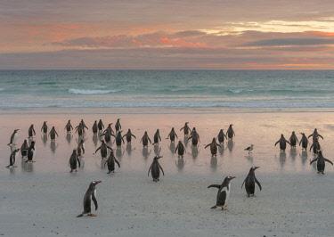 SA09MZW0760 Gentoo Penguin (Pygoscelis Papua) Falkland Islands.
