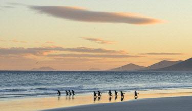 SA09MZW0762 Gentoo Penguin (Pygoscelis Papua) Falkland Islands.
