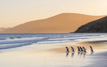 SA09MZW0763 Gentoo Penguin (Pygoscelis Papua) Falkland Islands.