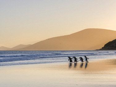 SA09MZW0765 Gentoo Penguin (Pygoscelis Papua) Falkland Islands.