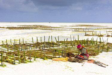 TZ3668AW A woman works on a seaweed farm at low tide, Paje, Zanzibar, Tanzania