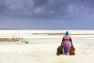 TZ3670AW A woman carries bunches of seaweed at a seaweed farm at low tide, Paje, Zanzibar, Tanzania