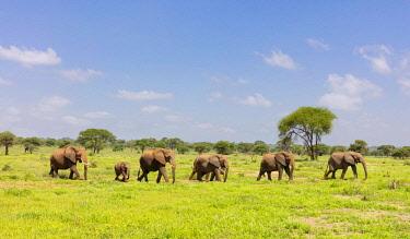 TZ3696AW A small herd of elephants and babies walking, Masailand, Tarangire National Park, Tanzania