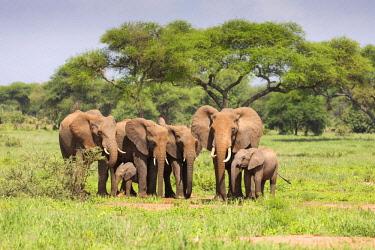 TZ3708AW A small herd of elephants and babies, Masailand, Tarangire National Park, Tanzania