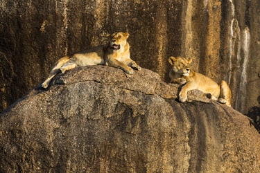 TZ3581AW Tanzania, Serengeti National Park, Simba Kopjes. Two lionesses resting among rocky outcrops known as kopjes.  Kopjes are ancient granite outcrops. The word kopje means little head in Afrikaans. They a...