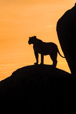 TZ3582AW Tanzania; Serengeti National Park. Lioness standing on a granite outcrop called a kopje at dusk.