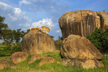 TZ3584AW Tanzania, Serengeti National Park, Simba Kopjes. A lioness walks away from another member of her pride who iw resting on top of one of the rocky outcrops known as kopjes.  Kopjes are ancient granite o...
