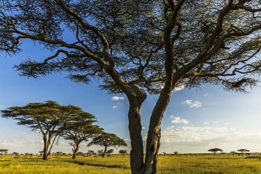 TZ3585AW Tanzania, Serengeti National Park, view looking south from Namiri Plains Tented Camp on the Ngare Nanyuki River system not far from Baraful Kopjes. These Acacia woodlands are favoured by elephants as...