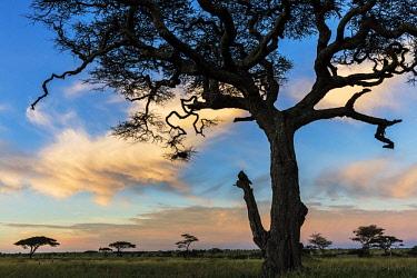 TZ3594AW Tanzania, Serengeti National Park, Namiri Plains Camp, Ngare Nanyuki river, Barafu. Acacia woodland at sunrise close to the Ngare Nanyuki river. The sire of Asilia's Namiri Plains Tented Camp on the s...