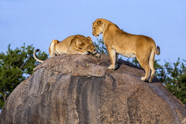 TZ3599AW Tanzania, Serengeti National Park, Simba Kopjes. Lionesses compete for a resting place on top of a rocky outcrop called Simba Kopjes.