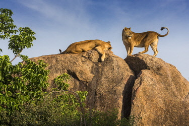 TZ3601AW Tanzania; Serengeti National Park; Simba Kopjes. Two lionesses resting up on a granite rocky outcrop called a kopje. This is a good place to find shade and to watch out for prey.
