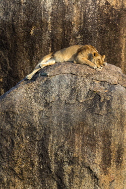 TZ3603AW Tanzania, Serengeti National Park, Simba Kopjes. A lioness resting on top of a rocky outcrop at Simba Kopjes.