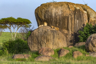 TZ3604AW Tanzania, Serengeti National Park, Simba Kopjes. Lionesses resting on top of a rocky outcrop at Simba Kopjes.