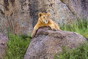 TZ3606AW Tanzania, Serengeti National Park, Simba Kopjes. Lion cub resting up on one of the kopjes, ancient granite outcrops that adorn the southern Serengeti savanna grasslands and acacia woodlands. The word...