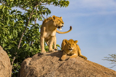 TZ3607AW Tanzania, Serengeti National Park, Simba Kopjes. Lioness and cub resting up on one of the kopjes, ancient granite outcrops that adorn the southern Serengeti savanna grasslands and acacia woodlands. Th...
